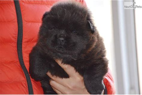 chow chow puppies for sale near me chow chow puppy for sale near beijing china 11f326cd 47d1