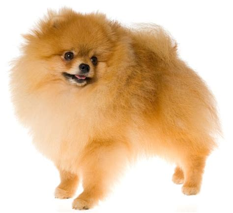temperament of pomeranian pomeranian information facts pictures and grooming