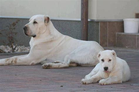alabai puppies amazing alabai dogs