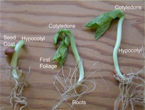 section 24 2 seed development and germination image gallery seed cotyledon
