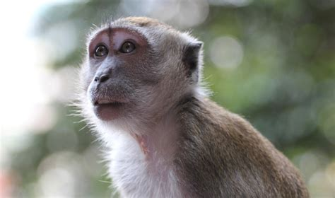 male farmers  malaysia  prone  monkey malaria