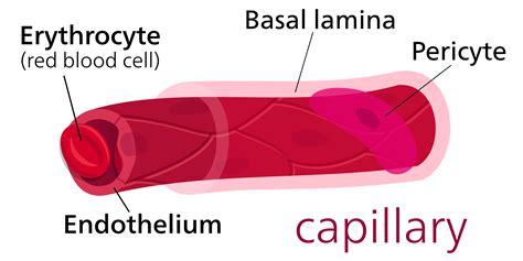 capillary diagram diagram of a capillary