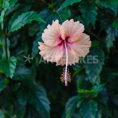Kemeja Black Floral 5424 quot a pale pink hibiscus flower quot photography prints and posters by craig lapsley artflakes