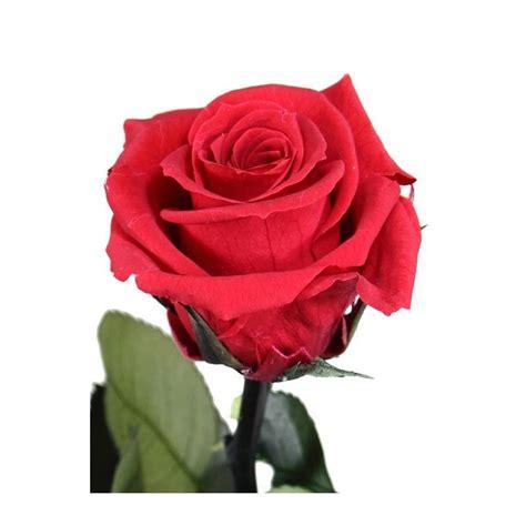 imagenes rosas negras naturales flor rosa natural preservada peque 241 a oasis decor