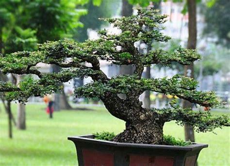Bakalan Bonsai Kawista bonsai kawista limonia acidissima