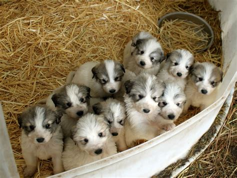 free great pyrenees puppies great pyrenees puppies adopt a great pyrenees breeds picture