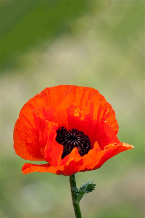 red poppy flower  stock photo public domain pictures