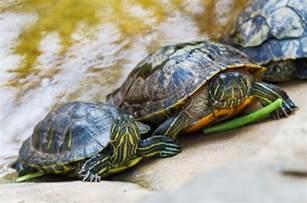 Eared Slider Shedding by Eared Slider Turtle