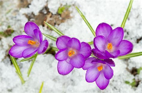 fiori di neve i fiori sfidano la neve foto pollicegreen