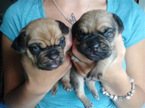 puggle puppies for adoption puggle puppies for sale adoption from alger michigan adpost classifieds gt usa
