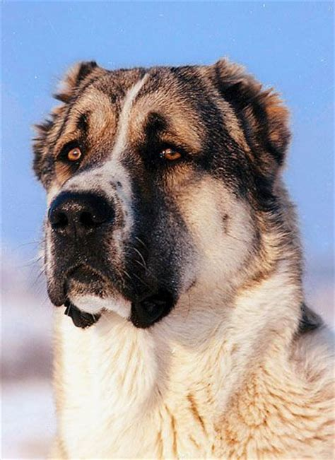 asian shepherd 17 best ideas about caucasian shepherd on caucasian mountain dogs