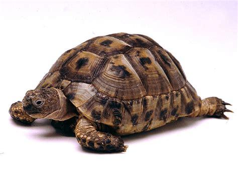 Tortoise L common tortoise endangered animals list our endangered