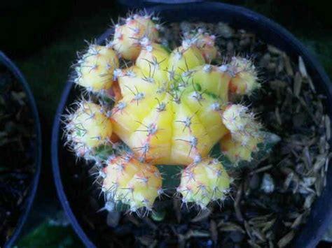 Bibit Tanaman Orange Siklam Cactus jual tanaman kaktus pale orange siklam bibit
