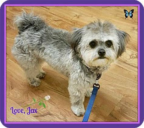 shih tzu seattle jax adopted seattle wa havanese shih tzu mix