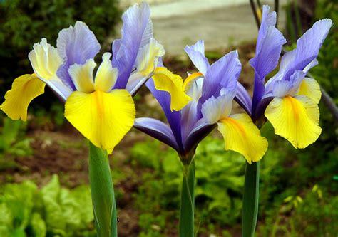 types of garden flowers types of iris flowers garden guides