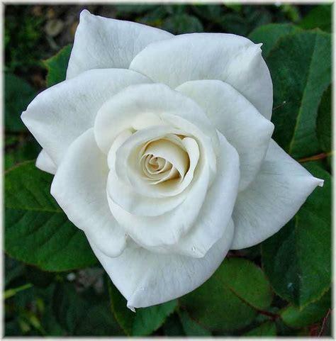 imagenes de rosas blancas y rosadas 10 flores blancas pisos al d 237 a pisos com