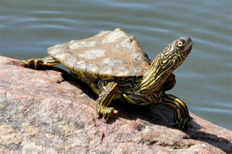 texas map turtles texas map turtle graptemys versa