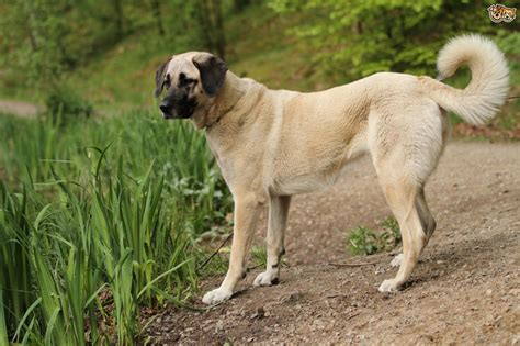 kangal puppy turkish kangal breed information buying advice photos and facts pets4homes