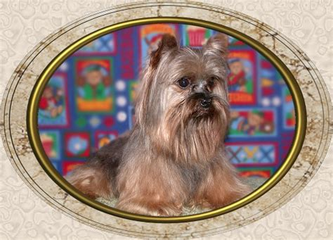 yorkie puppies for sale in alexandria la velvet touch yorkies d o b height weight information