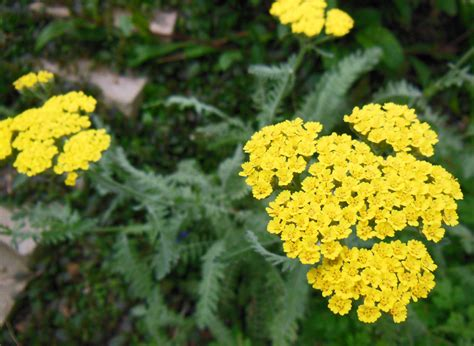 Garden Yarrow How To Grow Yarrow Achillea Coronation Gold
