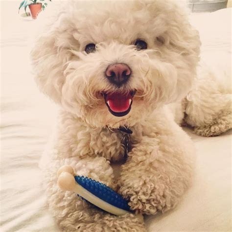 bichon frise poodle lifespan 127 best images about bichon poodle on happy
