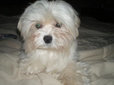 maltese puppies for sale in wisconsin shih tzu maltese puppies for sale in michigan