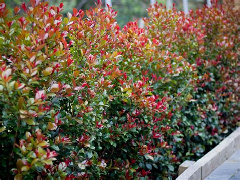 top  hedges syzygium lilly pilly hutchisons naracoorte
