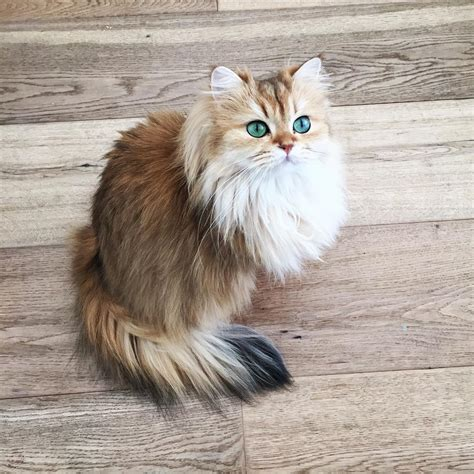 a cat for meet smoothie the world s most photogenic cat