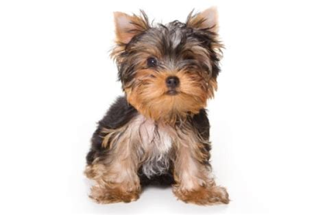 names for yorkies yorkie names images