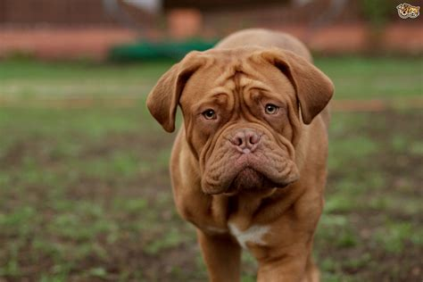 de bordeaux understanding the dogue de bordeaux personality pets4homes