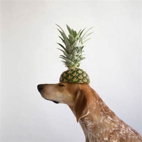 can puppies eat pineapple can dogs eat pineapples don t feed till you read this my bones and biscuits
