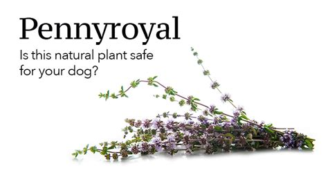 pennyroyal safe  dogs