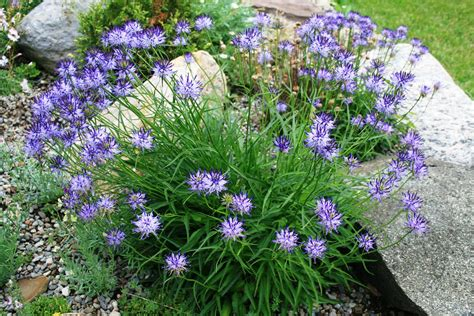 Garden Plants by Plant Of The Month For January 2016 Ontario Rock Garden