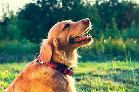 wheezing in dogs noisy breathing in dogs symptoms causes diagnosis treatment recovery management