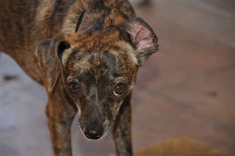 chiweenie puppies for sale in nc chiweenie puppies for sale in florida