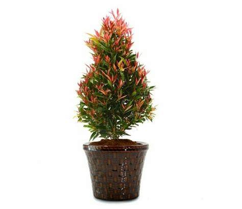 jual beli tanaman bunga pucuk merah cm  jual beli