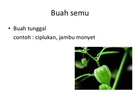 pengertian buah fructus