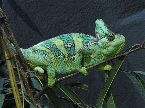 veiled chameleon wallpapers hd download