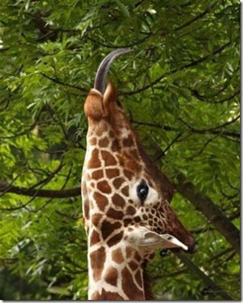 google imagenes de jirafas animales que reptan buscar con google animales