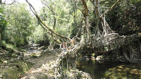 living bridges the living root bridge terra farmer