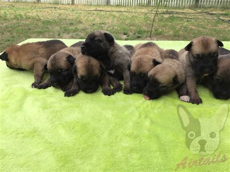 belgian malinois puppies for sale belgian malinois puppy for sale airtails