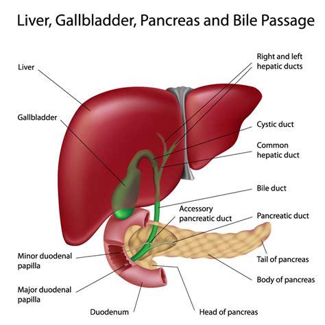 diagram of liver liver diagram anatomy organ