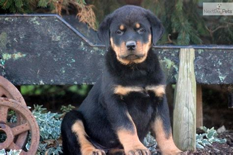 king rottweilers akc rottweiler breeder rottweiler puppies for sale rottie breed breeds picture