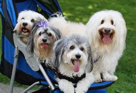 havanese circus dogs get to the havanese the cutie from cuba