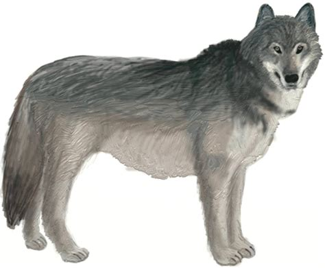 how to a wolf how to draw a wolf draw step by step