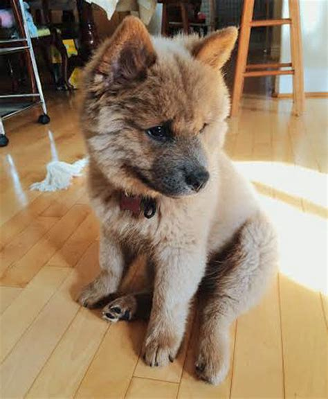 chow husky mix puppies for sale chow chow and husky mix animalia husky mix animal and