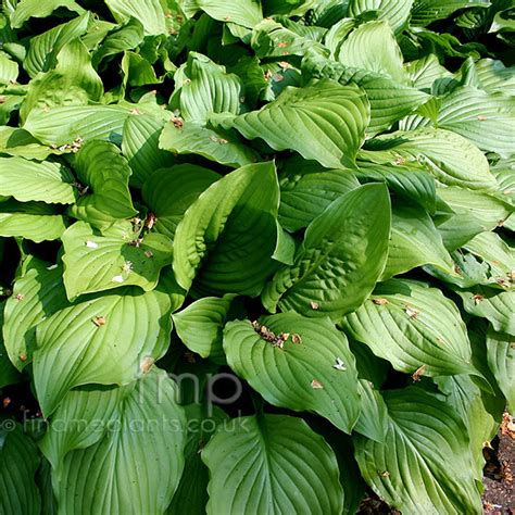where to buy herb plants a big photo of hosta from findmeplants