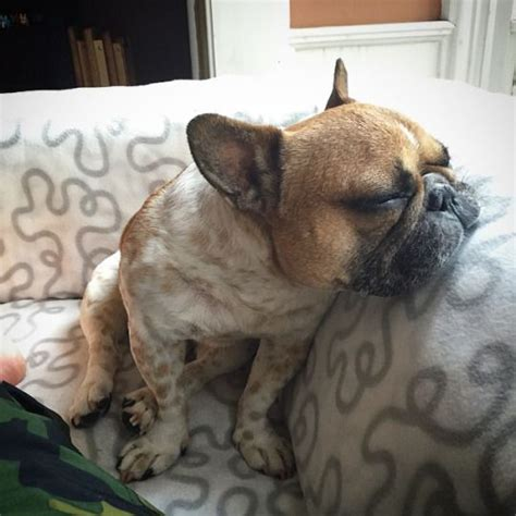 French Bulldog Meme - 10 best images about frenchies on pinterest cute dog