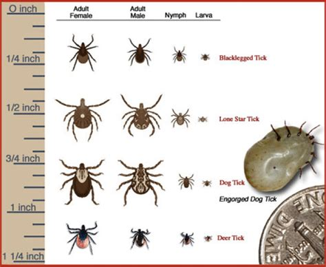 Ticks In Backyard by Repelling Ticks Fleas Before They Infest Your Yard