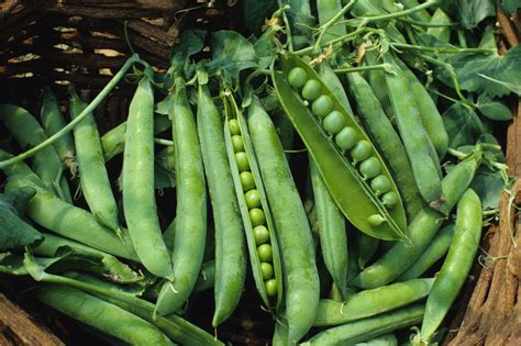 matar a platn nutritional facts and health advantages of green peas latest b2b news b2b products information